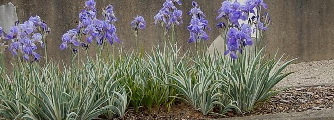 La petite boutique verte variegated foliage for Entretien iris jardin
