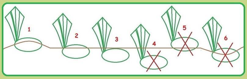 comment planter iris d'eau