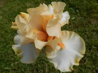 BANANA ROYALE iris de bordure
