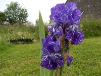 BATIK iris de jardin de bordure novelty broken color