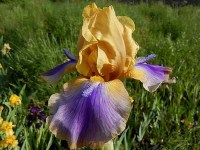 BERMUDA TRIANGLE iris de jardin de bordure novelty space age