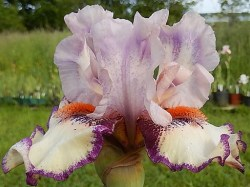 CLOWNERIE grand iris de jardin