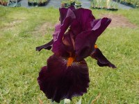 COALIGNITION grand iris de jardin