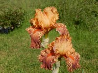 CHEETAH CHEESE  grand iris de jardin novelty broken color