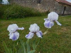 LIVING WATERS grand iris de jardin