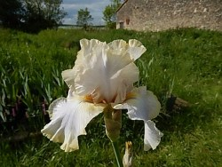 NORTH DOWNS iris de bordure