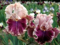 OXFORD COUNTESS  grand iris de jardin