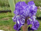 Iris de jardin de bordure novelty broken color Batik