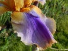 Iris de jardin de bordure novelty space age Bermuda triangle