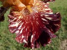 Iris de jardin novelty broken color Spice tiger